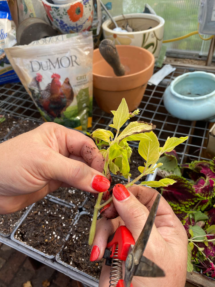 Pulling stems off of pineapple sage