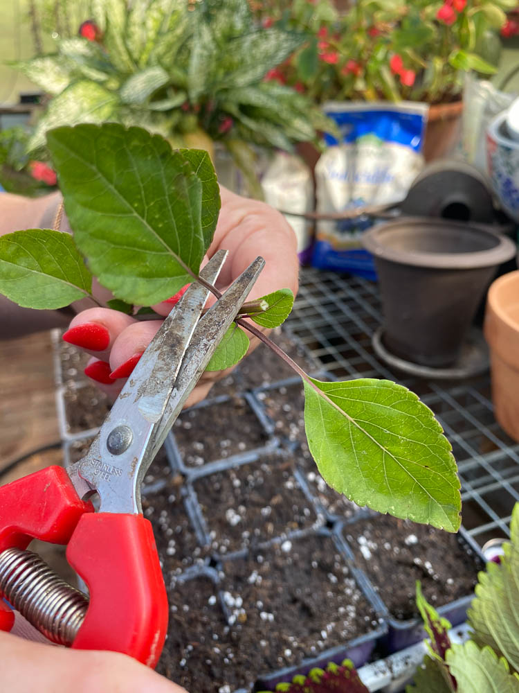 Snipping extra leaves off of salvia before making a cutting.