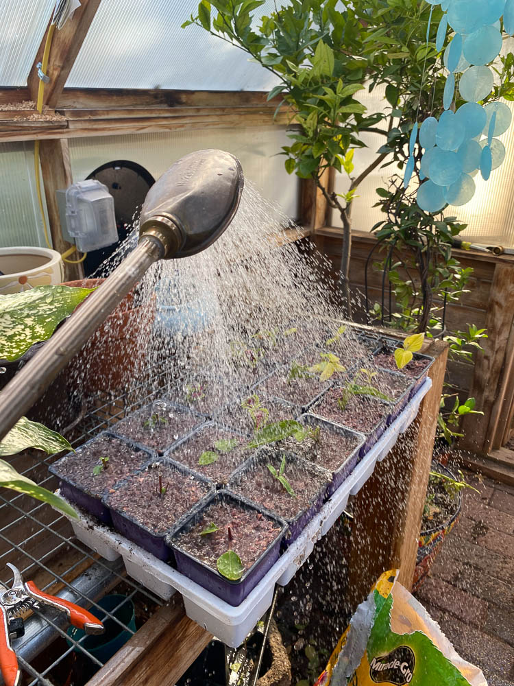 Water fresh cuttings after topping off with grit.