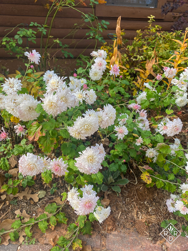 Chrysanthemum 'Emperor or China' tumbling over.