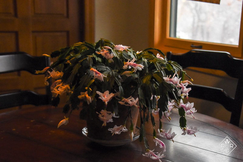 My pink Thanksgiving cactus in the kitchen. I should put a tablecloth on that kitchen table, but probably won't this year.