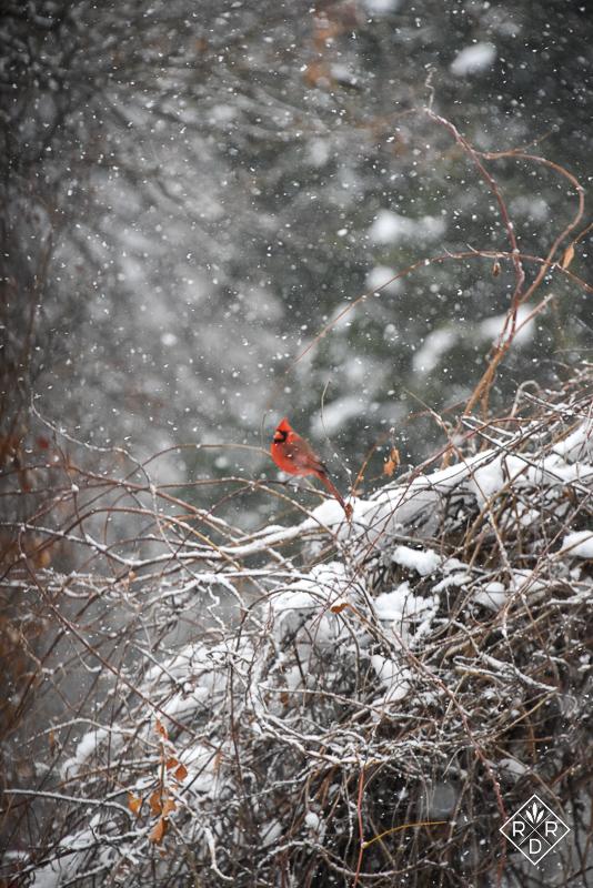 Snowy male Cardinal on the arbor.