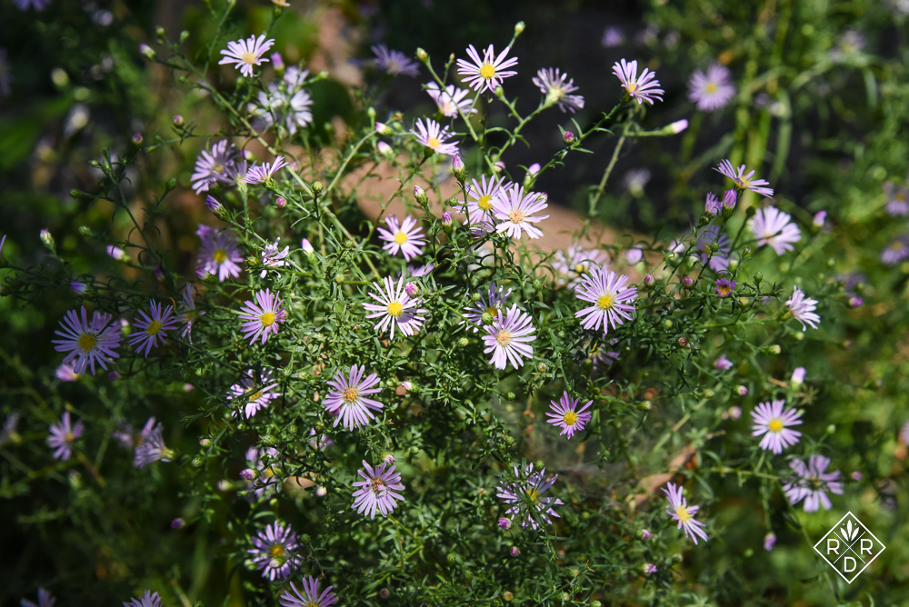 Pretty aster. I'm not sure which one.