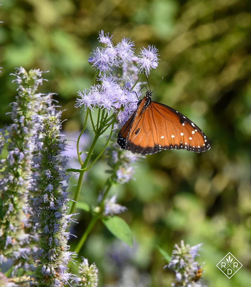 Male Queen butterfly on Gregg's mistflower, aka palm leaf mistflower.