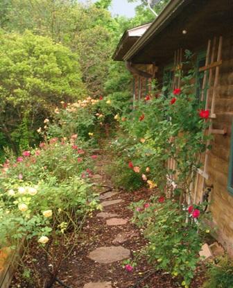 Side rose border with pecan hull mulch. Red Dirt Ramblings--Dee Nash