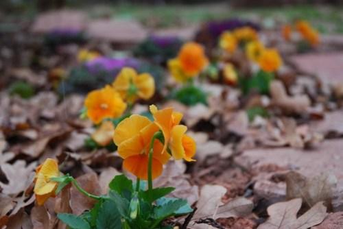 Orange Violas
