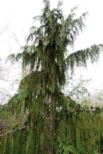 Weeping Alaskan Cedar from the Lost Garden