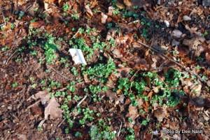 Turnip seedlings