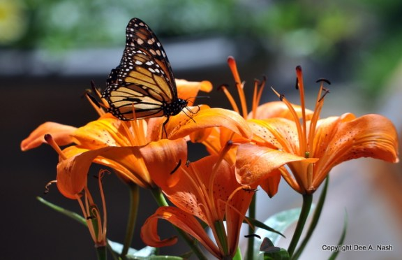 Butterflies appreciate trumpet shaped flowers