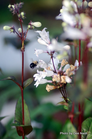 A bumblebee visits the 'Husker Red' Penstemon
