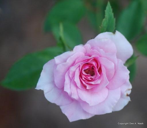 Rosa 'Kimberlina'