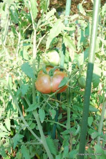 'Aunt Anna' tomato was delicious