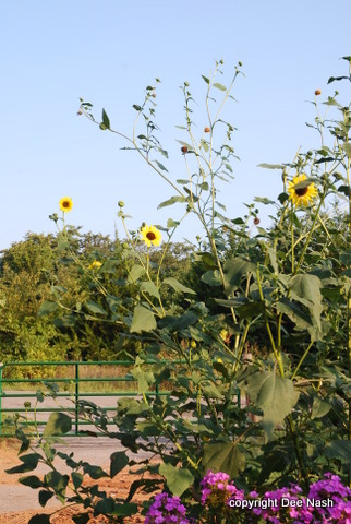 Birdseed Sunflower