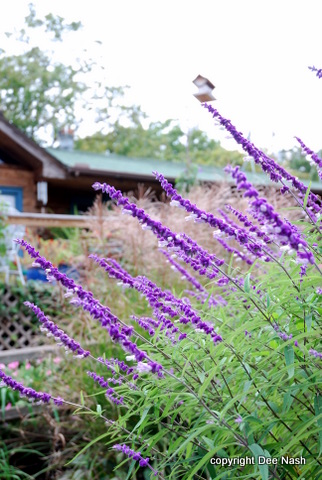 Mexican sage, the first plant I wrote about on the blog