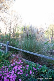 Maiden grass against the split rail fence; pink Supertunias in front