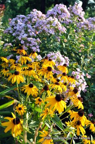Rudbeckia fulgida 'Goldsturm' with Phlox paniculata 'Bright Eyes' behind.