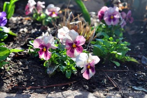 Viola x wittrockiana Dynamite Pink pansies