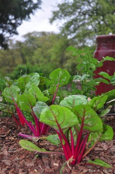 Swiss chard and red fountain early last spring. Before you start a vegetable garden