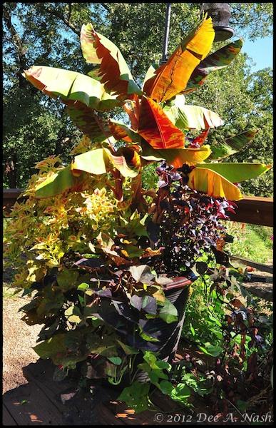 Variegated banana tree and coleus. Red Dirt Ramblings