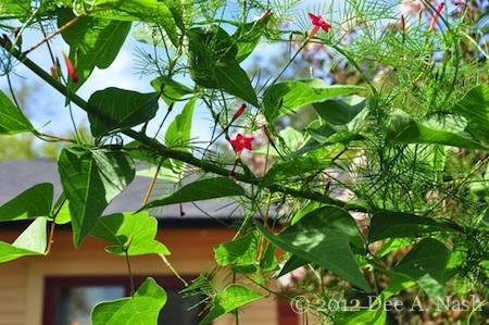Cypress vine, an aggressive little sucker, but hummingbirds love it.