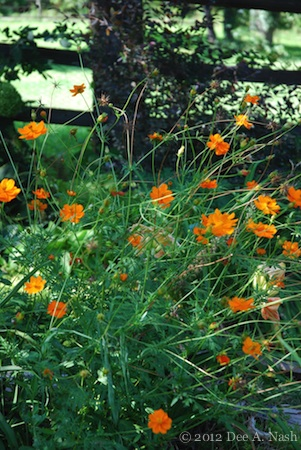 Annuals are flashy garden accessories. Weedy-looking, but excellent orange cosmos growing in partial shade.