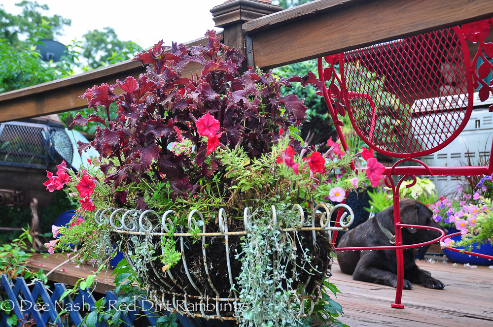 Unknown coleus, red petunias, apricot calibrachoa (don't know the name) and 'Silver Falls' dichondra