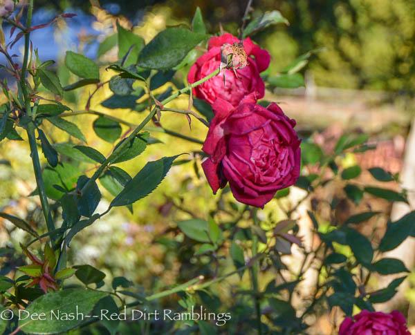 Rosa 'Cramoisi Superieur'
