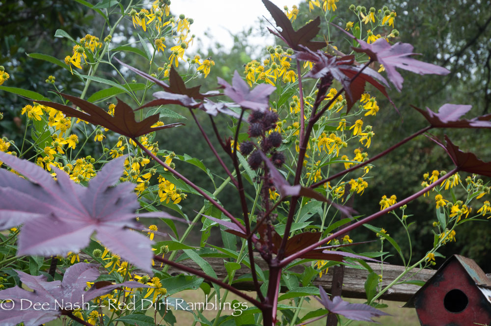 New Zealand castor bean with Helianthus angustifolius, Narrow-leaf Sunflower