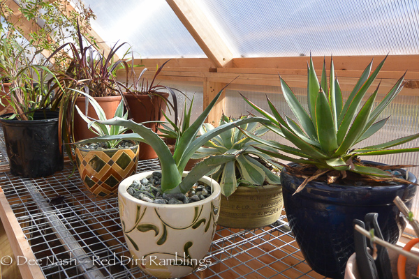 Agaves hanging out in the greenhouse. While agaves don't need to be kept this warm, it doesn't hurt.