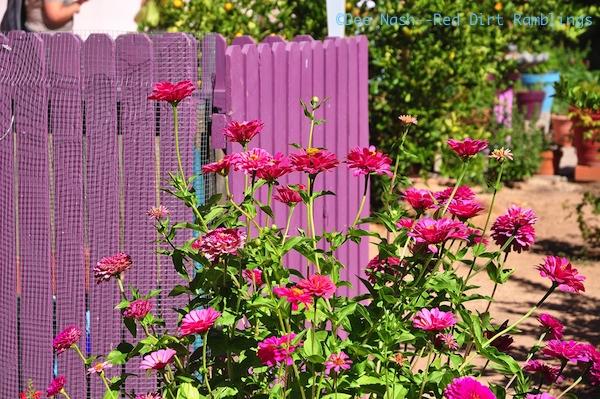 Pink zinnias against a purple fence in Tucson, AZ
