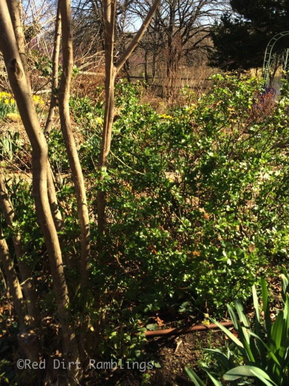 Some roses like 'The Fairy' a very hardy Polyantha, is fine. She didn't have much dieback at all.