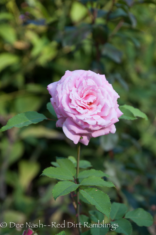 My other 'Belinda's Dream rose.