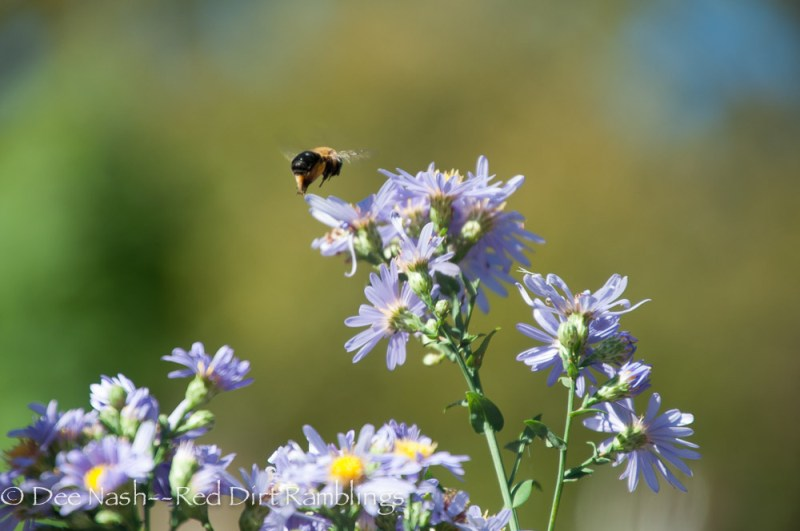 Bumblebee flying to another bloom on Symphyotrichum oblongifolium 'October Skies.'