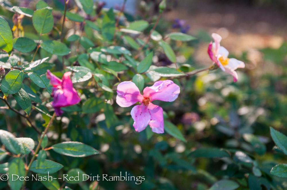 Rosa 'Mutabilis' rose