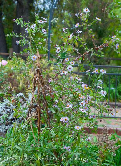 Climbing aster, Aster carolinianus syn. Ampelaster carolinianus, in bloom.