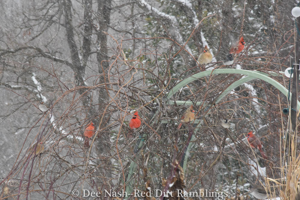 Cardinals staging themselves on the arbor as they wait for the feeder. Snow Play