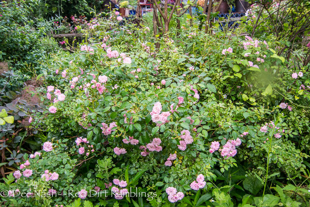 Rosa 'The Fairy' one of the ones I've lost to Rose Rosette Virus.