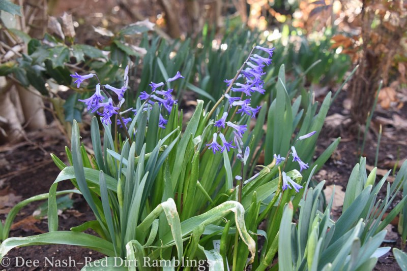 The leaves of 'Roman Blue' hyacinths were burned by the cold weather, but the blooms are fine.