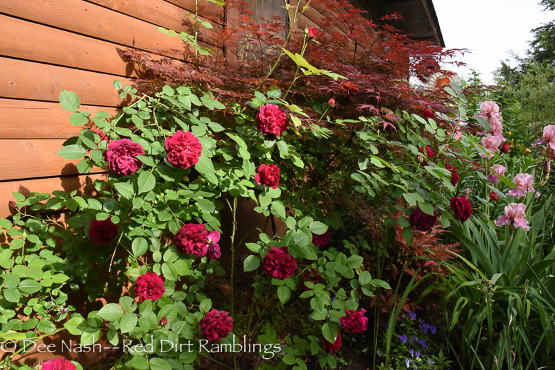 Rosa 'Darcey Bussell' with Acer palmatum dissectum 'Rilas Red' and a mystery iris next to the garage.  Roses