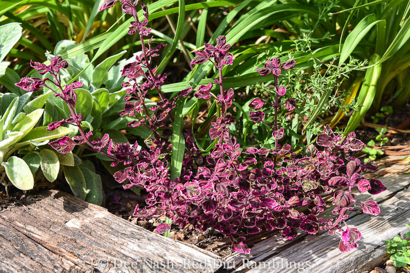 'Trailing Plum Brocade' coleus would look great spilling over a wall or a container.