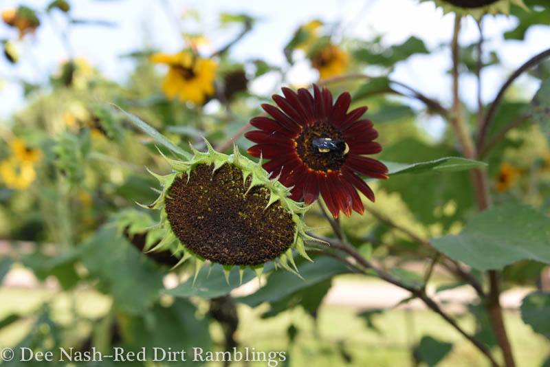 Dark mahogany sunflower with bumblebee.