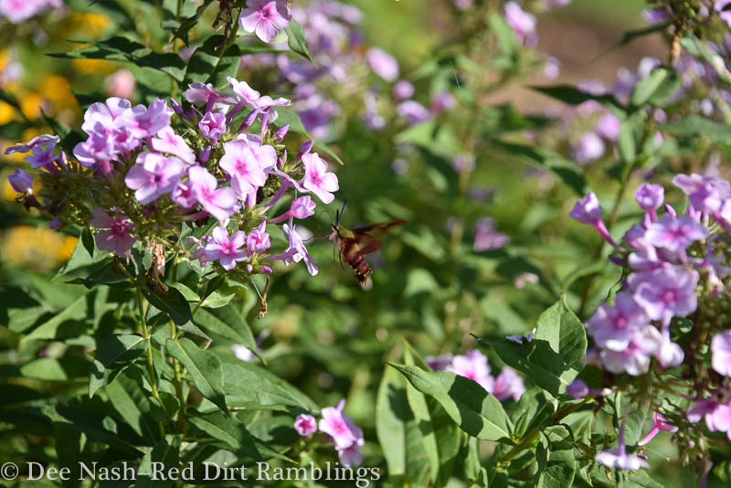 Hummingbird moth on 'Bright Eyes' phlox.