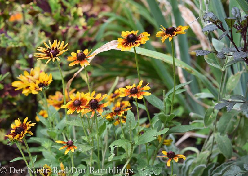 Rudbeckia hirta 'Chocolate Orange' weeding