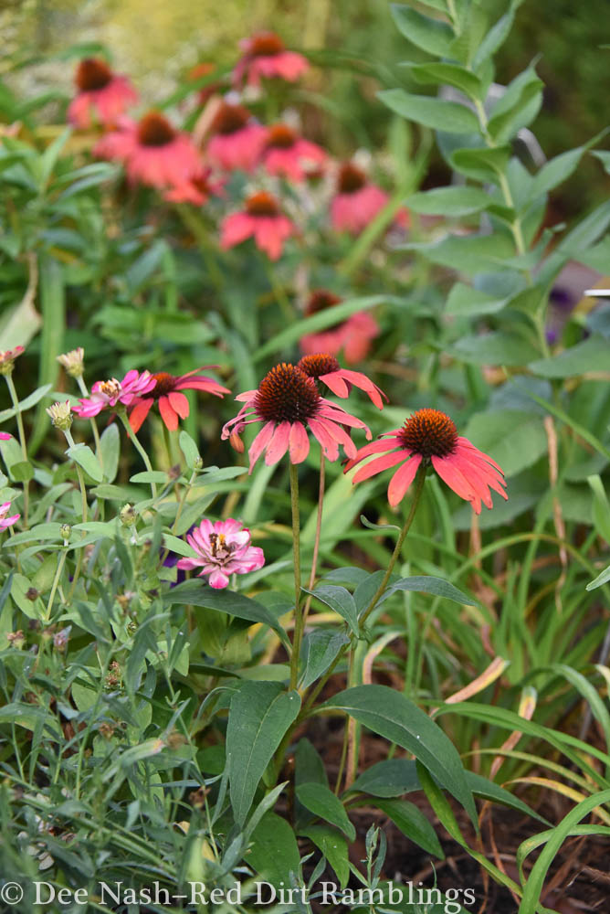 Echinacea 'Cheyenne Spirit,' a seed strain of coneflower that comes in multiple colors and heights.