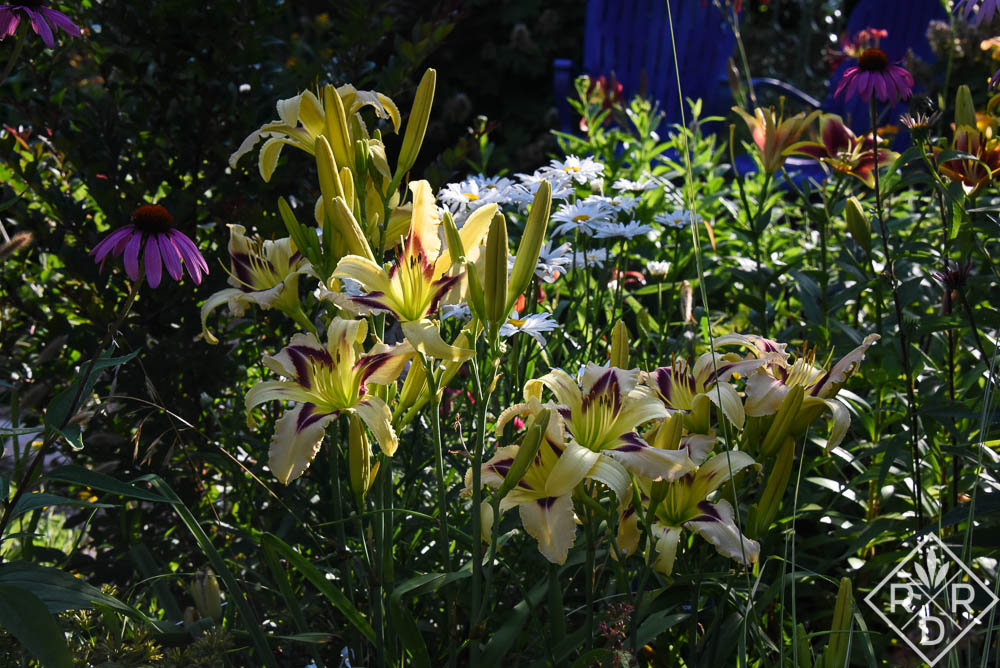 Hemerocallis 'Wild and Wonderful' with echinacea echoing the daylily's patterned eye.
