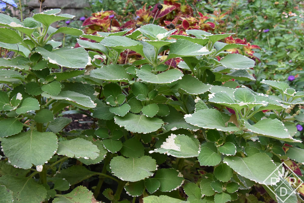 Variegated plectranthus and coleus were two tropical plants I grew this summer on the east side of the house. The plectranthus lost much of its variegation by the end of summer. I don't know why.
