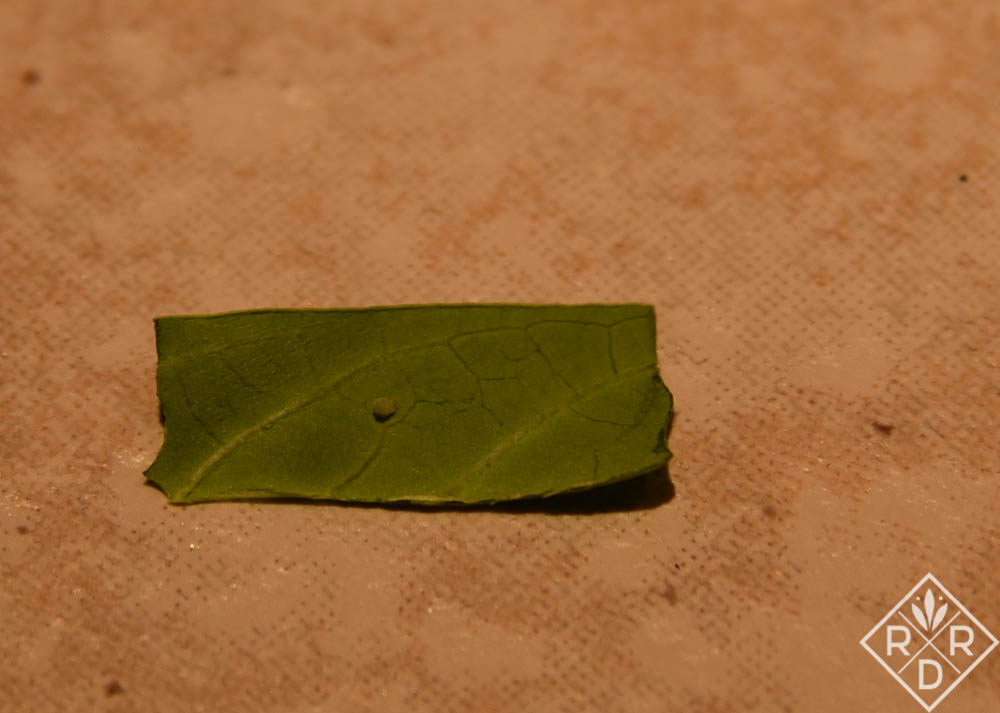 Monarch egg on milkweed leaf. This is very enlarged so you can see it easier, but they are about the size of a pinprick.