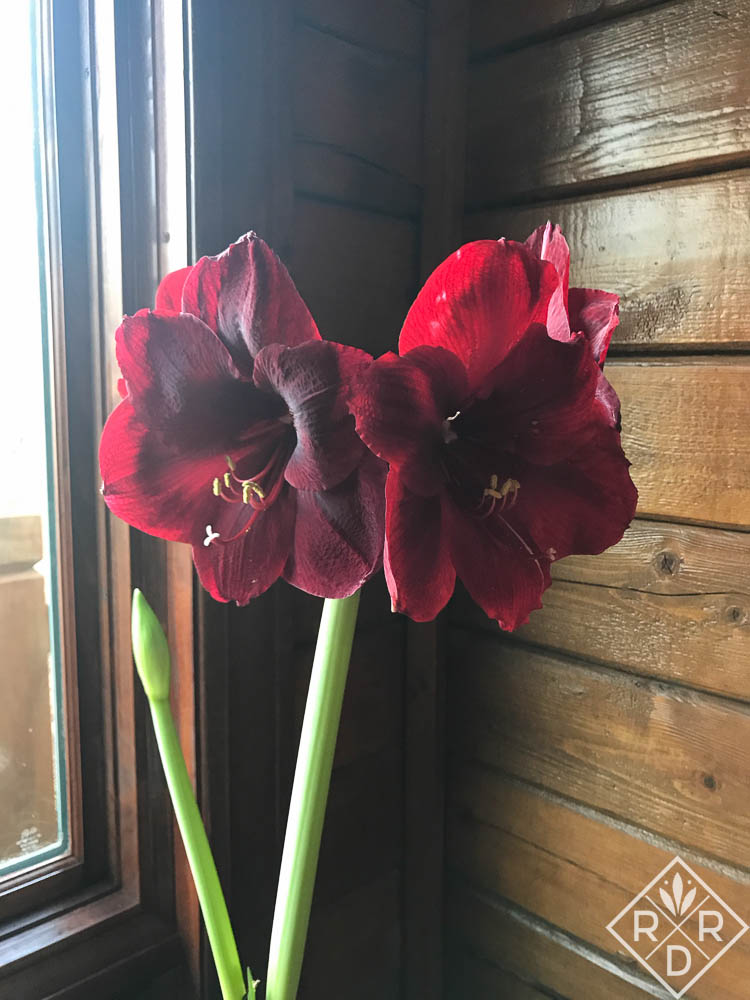 "This is a red amaryllis I received from the Amaryllis and Caladium Bulb Co., http://www.amaryllis.com/. It had a tag, but just stated ""red amaryllis."" It's a beautiful dark red."