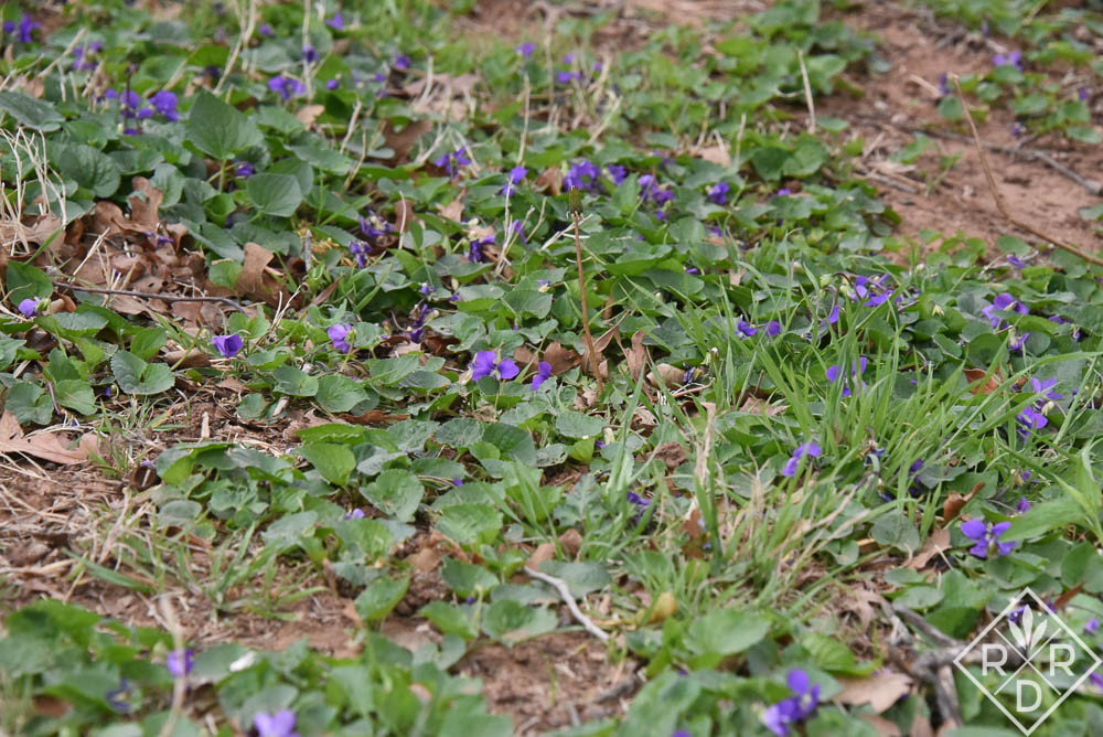 <em>Viola soraria</em>, common blue violets, in a shady spot beneath an oak tree. Bill and I think they're quite pretty even if others use herbicides to kill them in lawns.