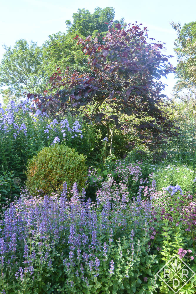 Salvia numereosa 'Wesuwe' and Nepeta grandiflora 'Blue Danube' against a 'Forest Pansy' redbud.